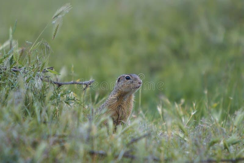 Esquilo à terra europeu que está no prado e na observação fotografia de stock