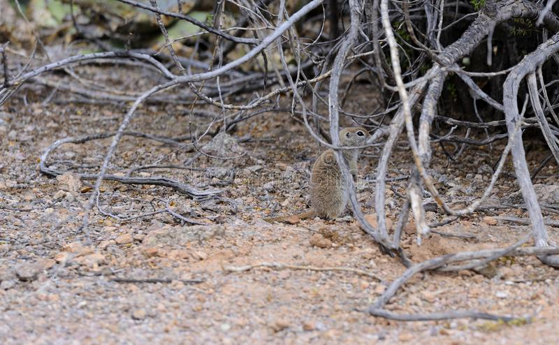esquilo à terra Redondo-atado no deserto de Sonoran fotos de stock royalty free