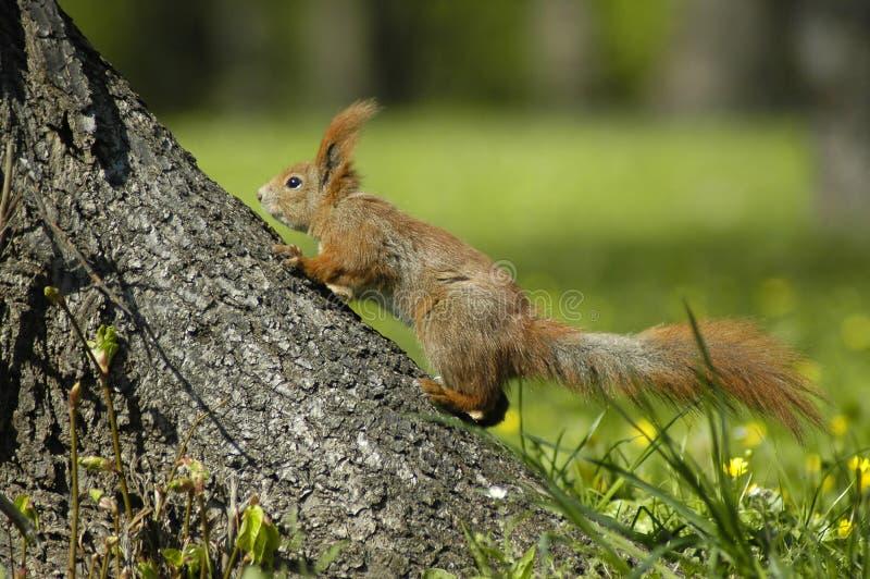 Download Esquilo imagem de stock. Imagem de porca, árvore, roedor - 111857