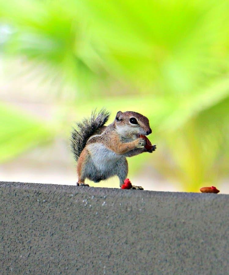 Esquilo! fotografia de stock