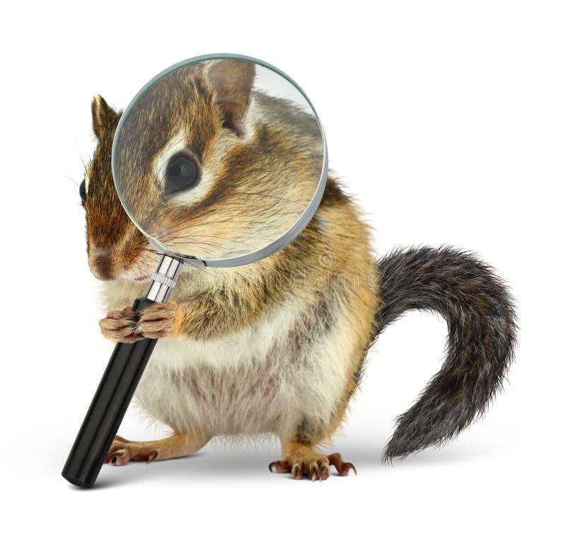 Esquilo animal engraçado que procura com lupa, no branco imagens de stock