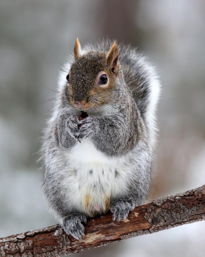 Esquilo bonito do inverno imagens de stock royalty free