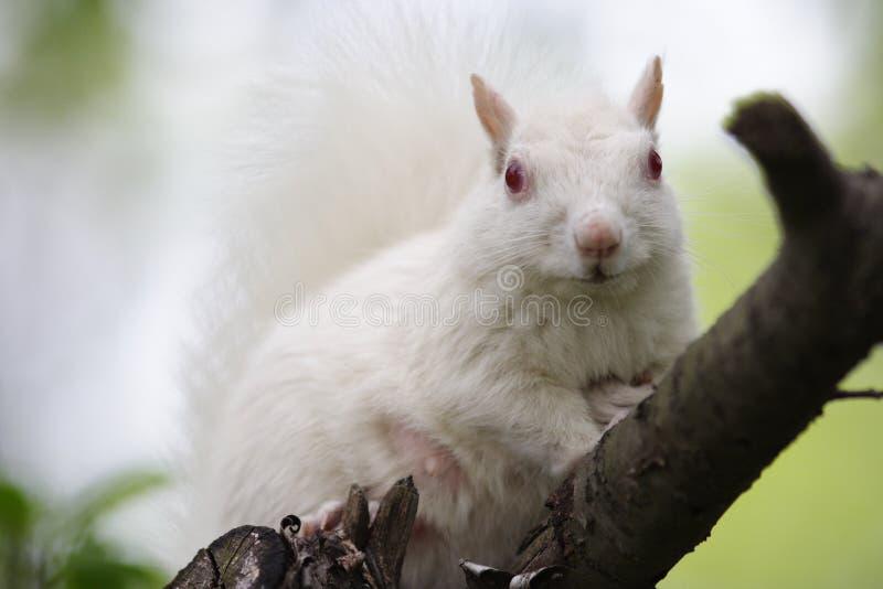 Esquilo branco fotos de stock
