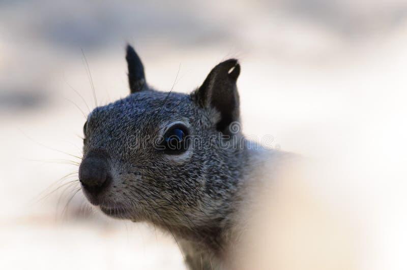 Esquilo Branco-atado do Antilope imagem de stock