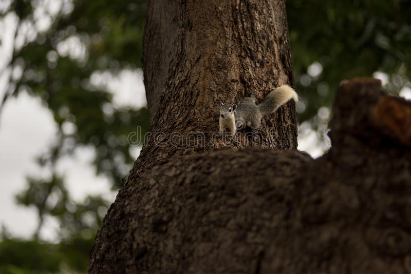 Esquilo cinzento oriental imagem de stock royalty free