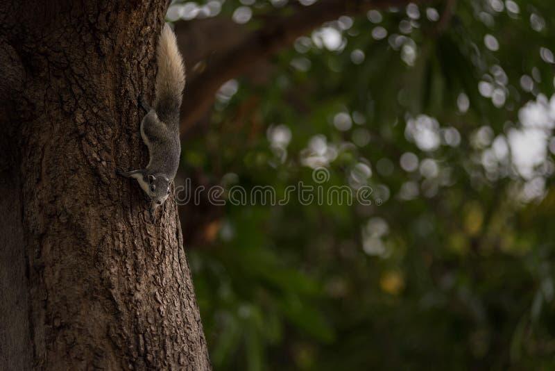 Esquilo cinzento oriental imagens de stock