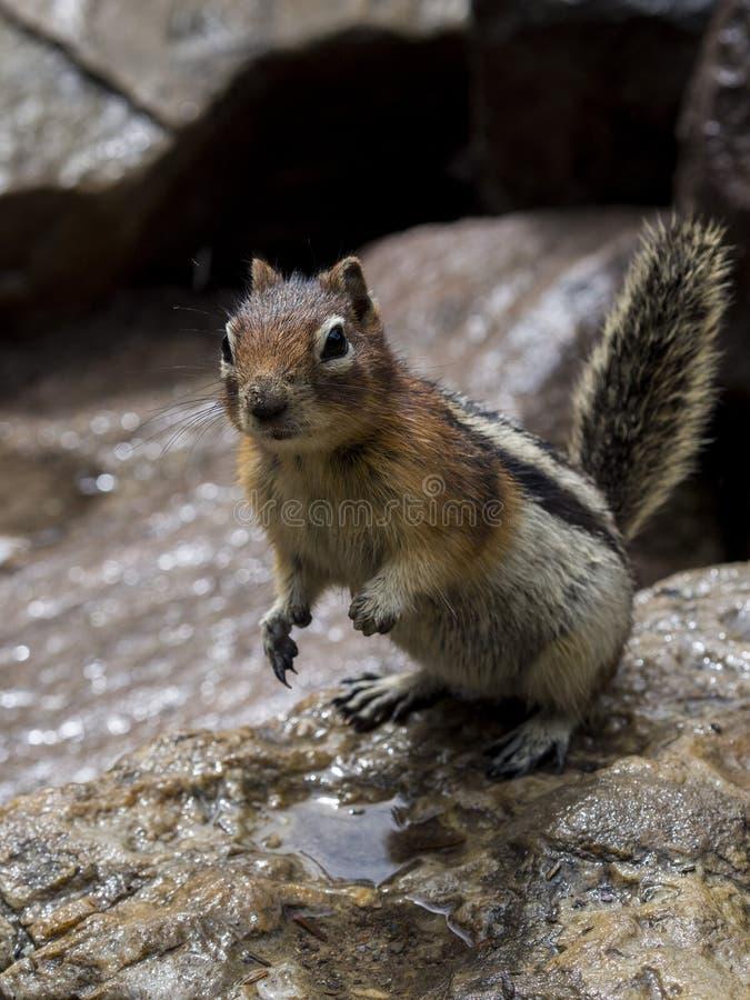 Esquilo com fome que implora pelo alimento fotos de stock