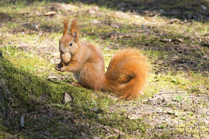 Esquilo com porca Animal vermelho do roedor no parque do outono foto de stock royalty free