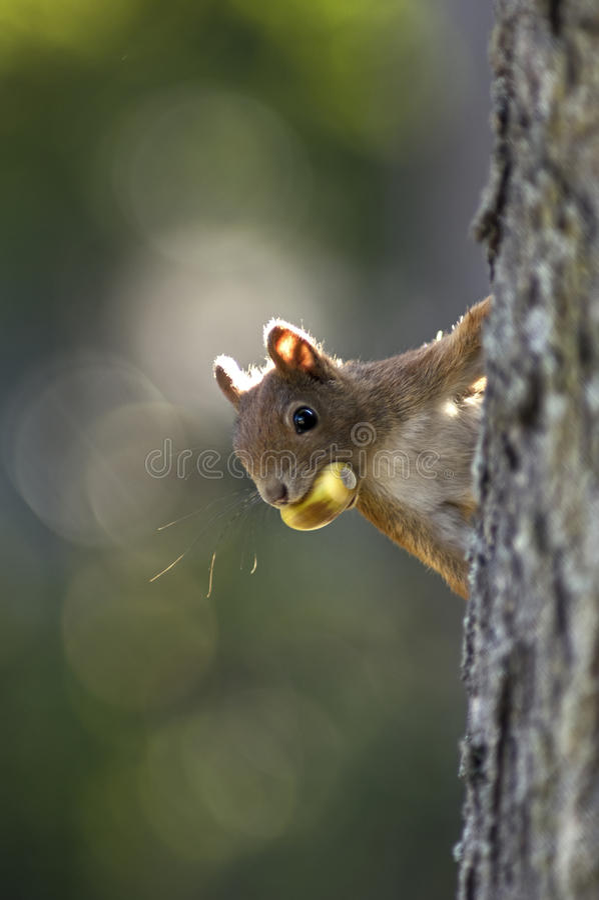 Esquilo com um carvalho imagem de stock