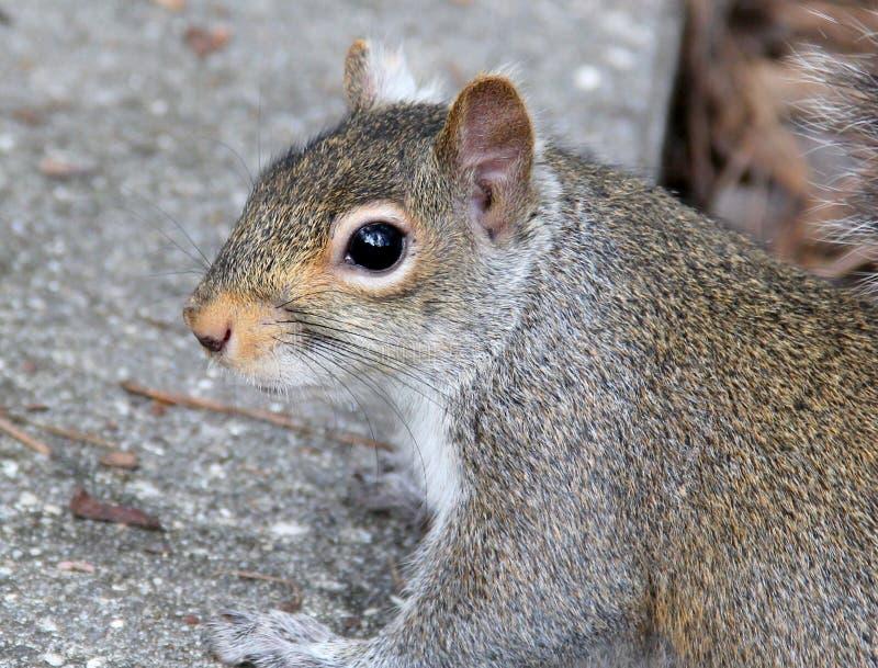 Esquilo curioso fotografia de stock