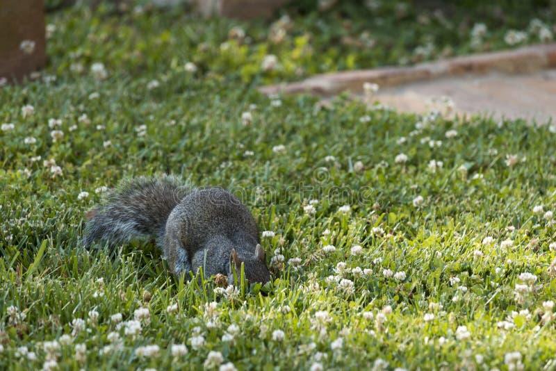 Esquilo da forragem fotografia de stock