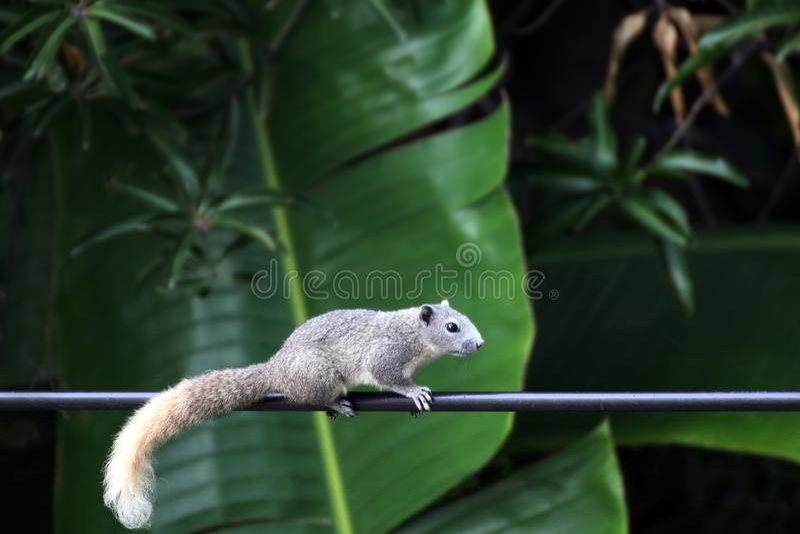 Esquilo de Ásia, caminhada do esquilo ou linhas elétricas lentas da escalada da corrida na manhã fotografia de stock