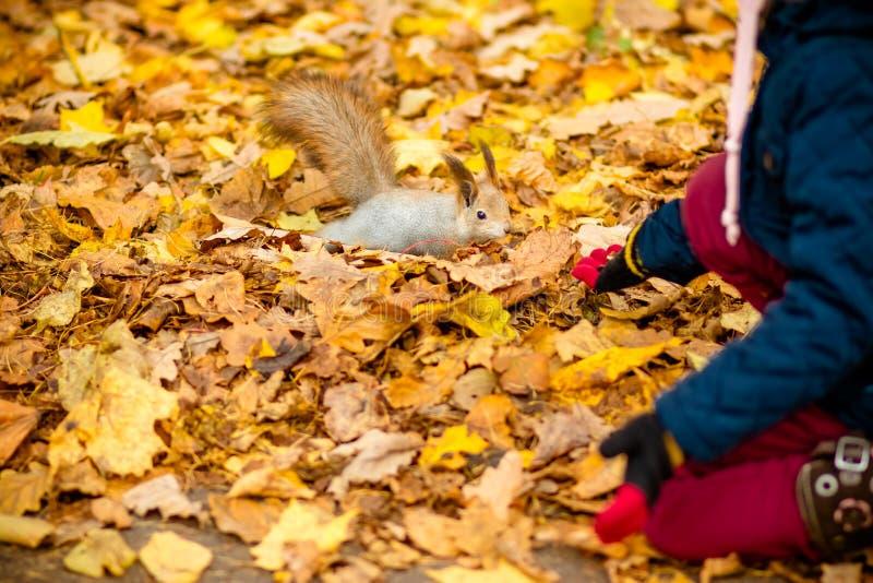 Esquilo de alimentação da menina no parque do outono Menina no revestimento de trincheira azul e em botas de couro marrons que ol imagem de stock royalty free