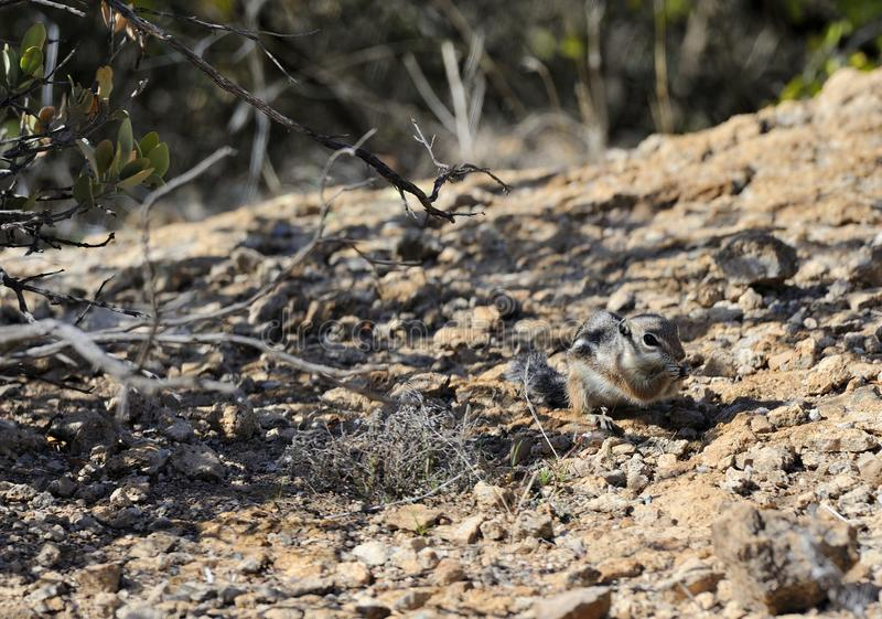 Esquilo de antílope que forrageia no deserto foto de stock royalty free