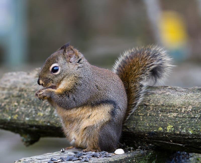 Esquilo de Fox fotografia de stock