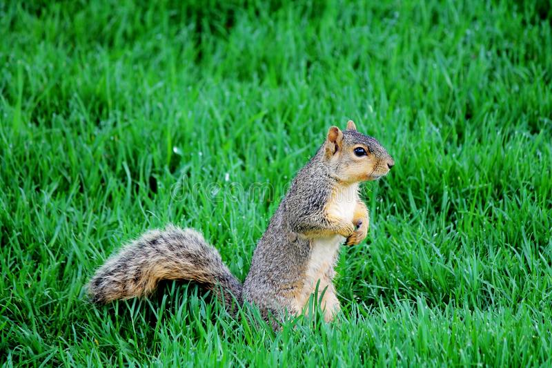 Esquilo de Fox da vigia fotografia de stock