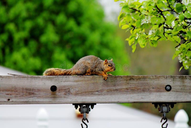 Esquilo de Fox de descanso imagem de stock