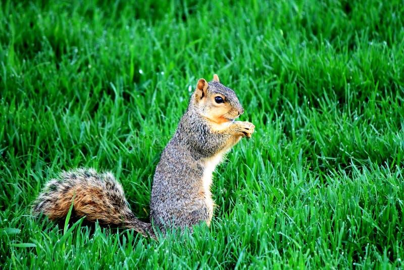 Esquilo de Fox na grama fotografia de stock royalty free