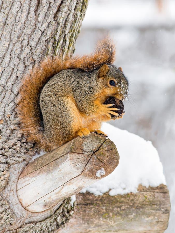 Esquilo de Fox nevado foto de stock royalty free