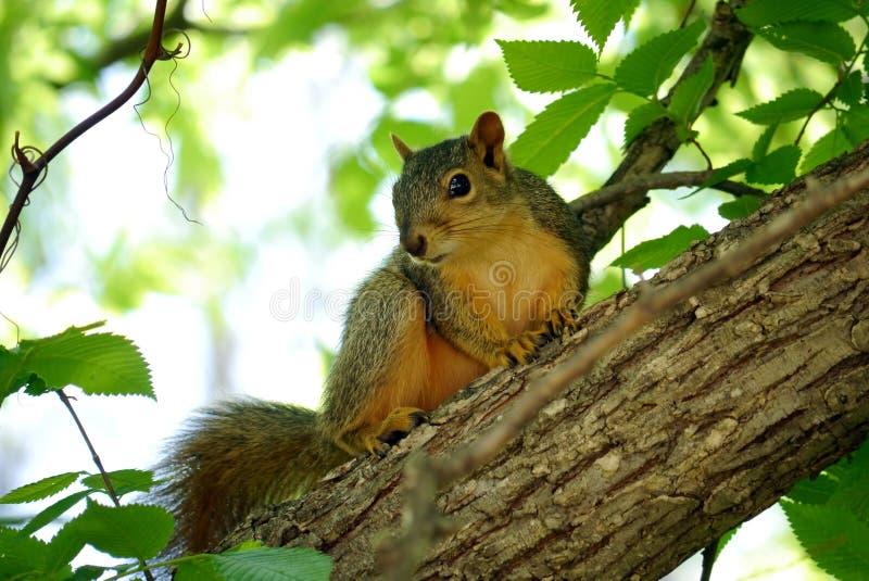 Esquilo de Fox oriental fotos de stock