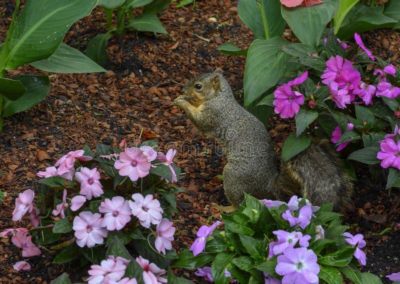 Esquilo de Fox que aprecia uma porca nas flores em Dallas Arboretum e nos jardins bot?nicos imagens de stock royalty free