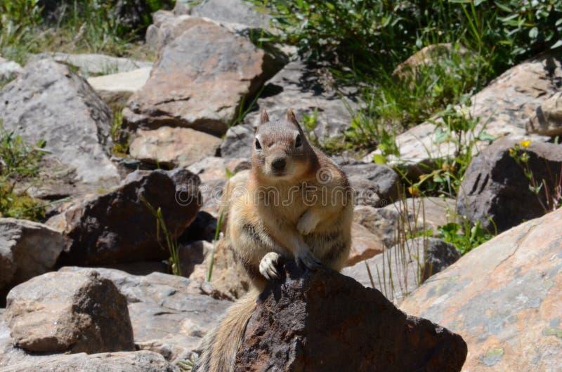 Esquilo de Montanhas Rochosas do canadense imagens de stock