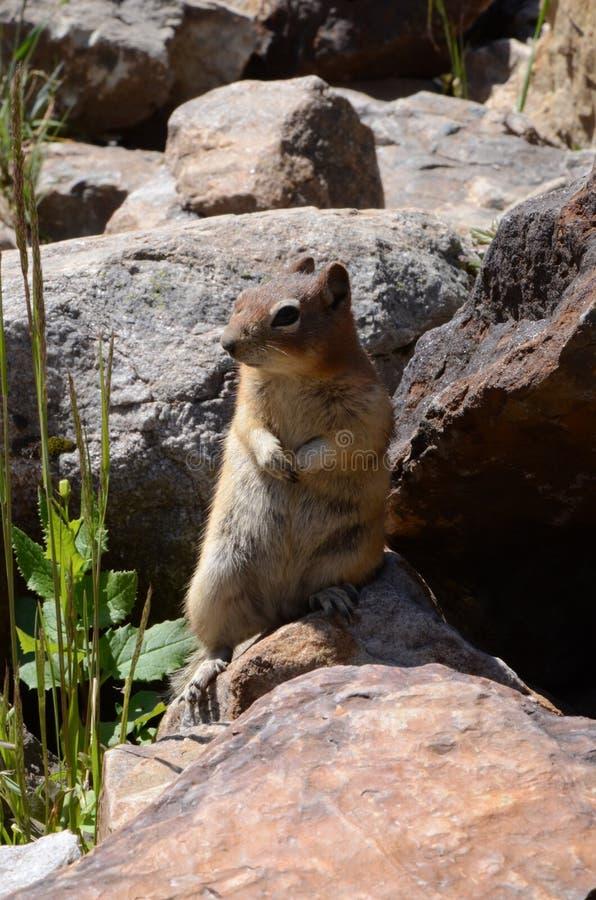Esquilo de Montanhas Rochosas do canadense fotografia de stock royalty free