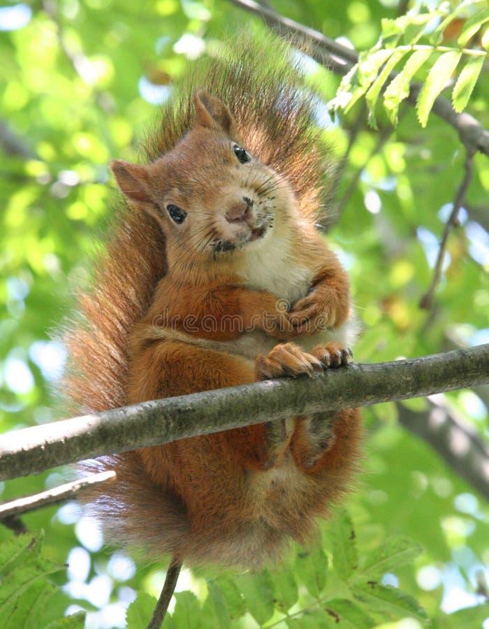 Esquilo de sorriso fotos de stock