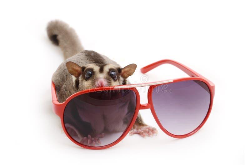 Esquilo de voo com óculos de sol vermelhos foto de stock royalty free