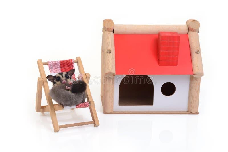 Esquilo de voo que relaxa na cadeira de praia imagem de stock