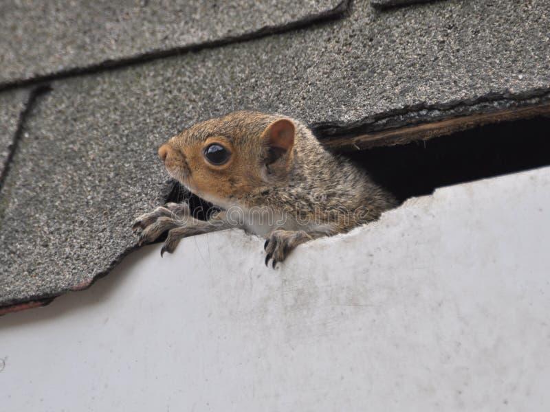 Esquilo dentro do telhado imagens de stock royalty free
