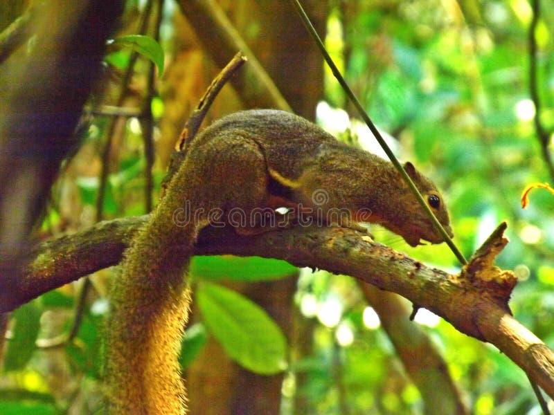 Esquilo do banana-da-terra no ramo de árvore imagem de stock royalty free