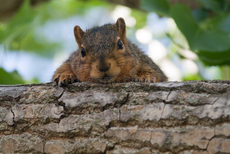 Esquilo do bebê em uma árvore fotografia de stock