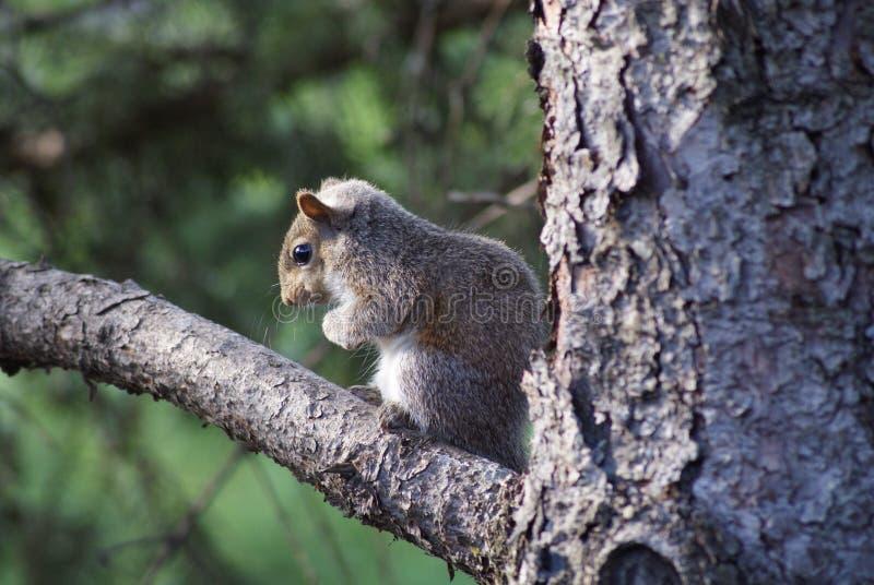 Esquilo do bebê na árvore fotografia de stock royalty free