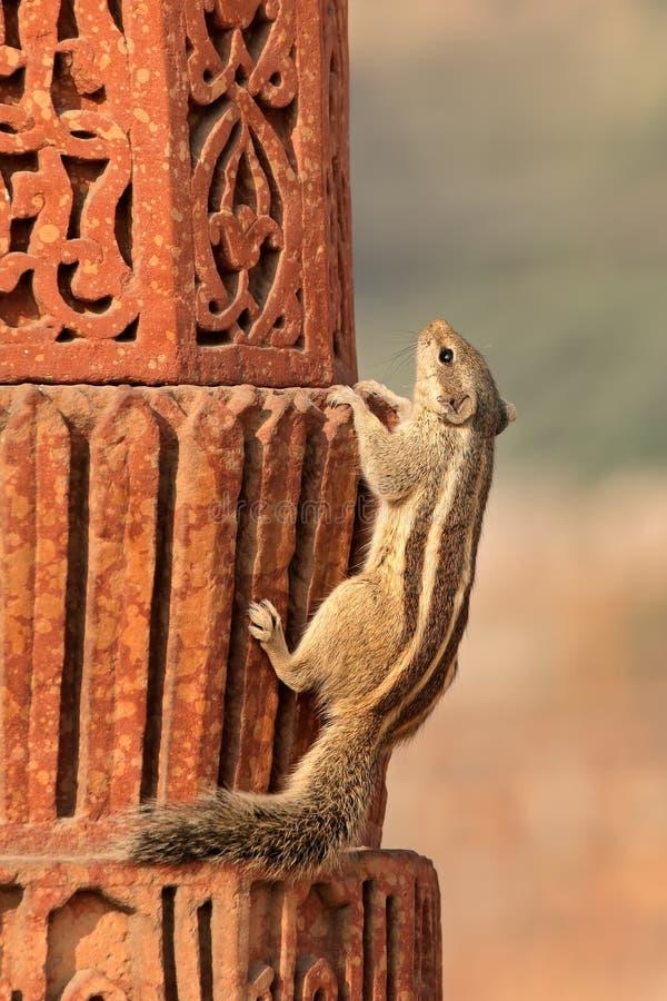 Esquilo do norte da palma foto de stock royalty free