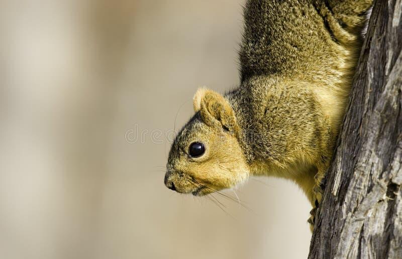 Esquilo do país do monte fotos de stock