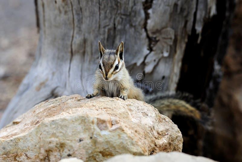 Esquilo do penhasco, az fotos de stock
