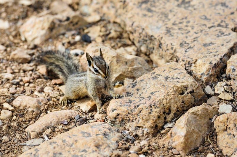Esquilo do penhasco, az fotografia de stock