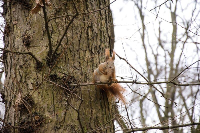 Esquilo do ruivo em um ramo de árvore que olha a câmera imagens de stock