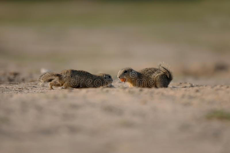 Esquilo dois bonito pequeno que luta por seu alimento imagens de stock royalty free