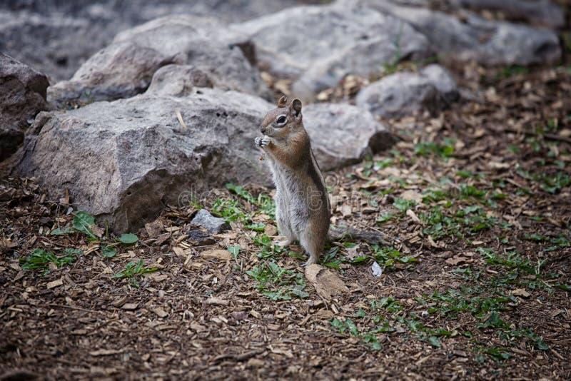Esquilo em Grand Canyon imagem de stock royalty free