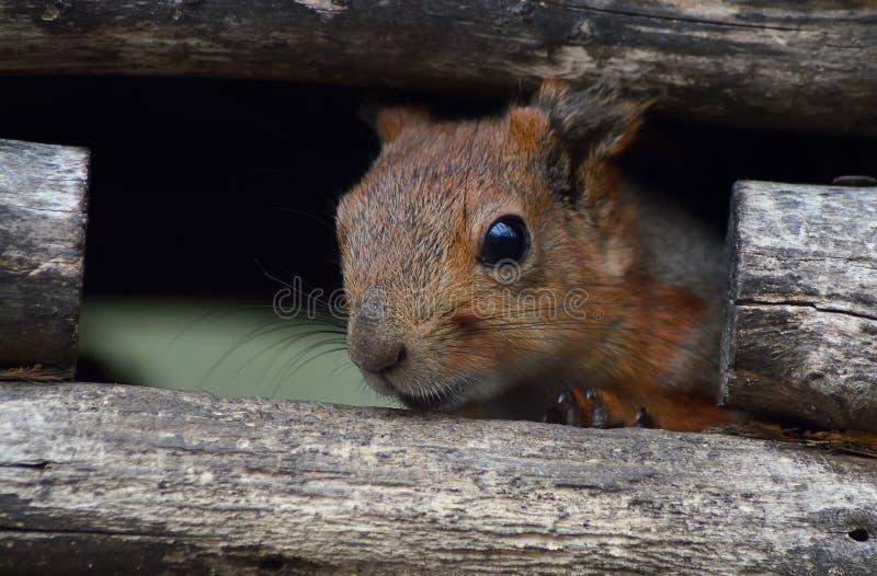 Esquilo em um alimentador foto de stock