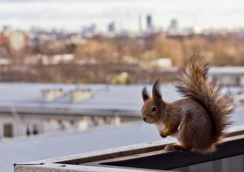 Esquilo em um balcão imagens de stock royalty free