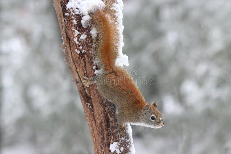 Esquilo em um dia de inverno fotos de stock royalty free