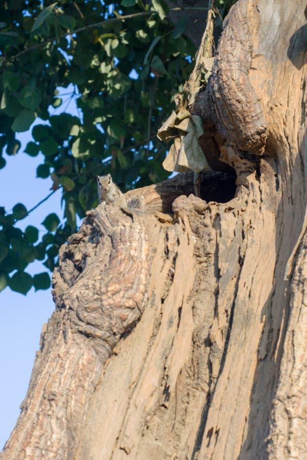 Esquilo em um tronco de ?rvore fotografia de stock
