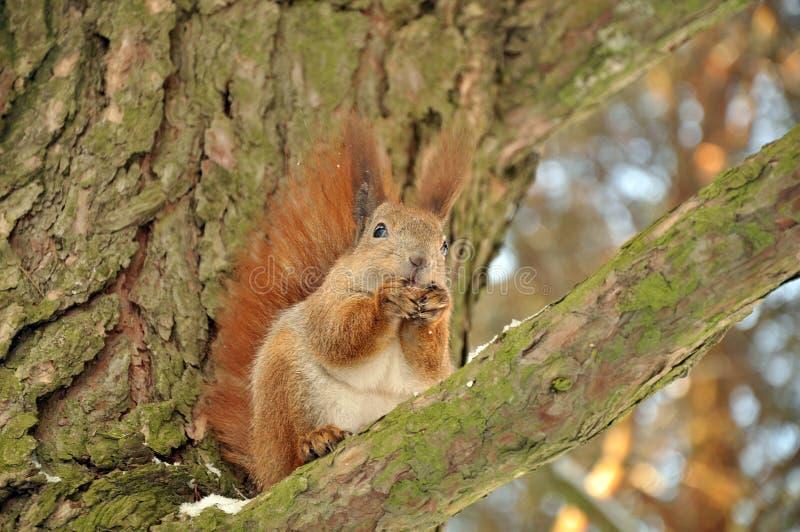 Esquilo em uma árvore fotos de stock