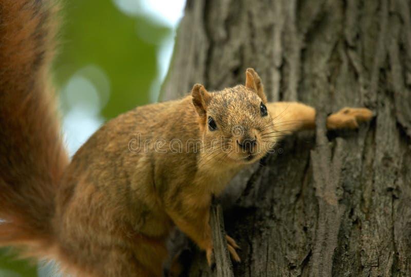Esquilo em uma árvore fotografia de stock royalty free