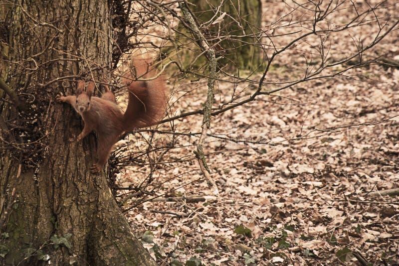 Esquilo em uma ?rvore em uma posi??o do salto Foto surpreendente imagem de stock