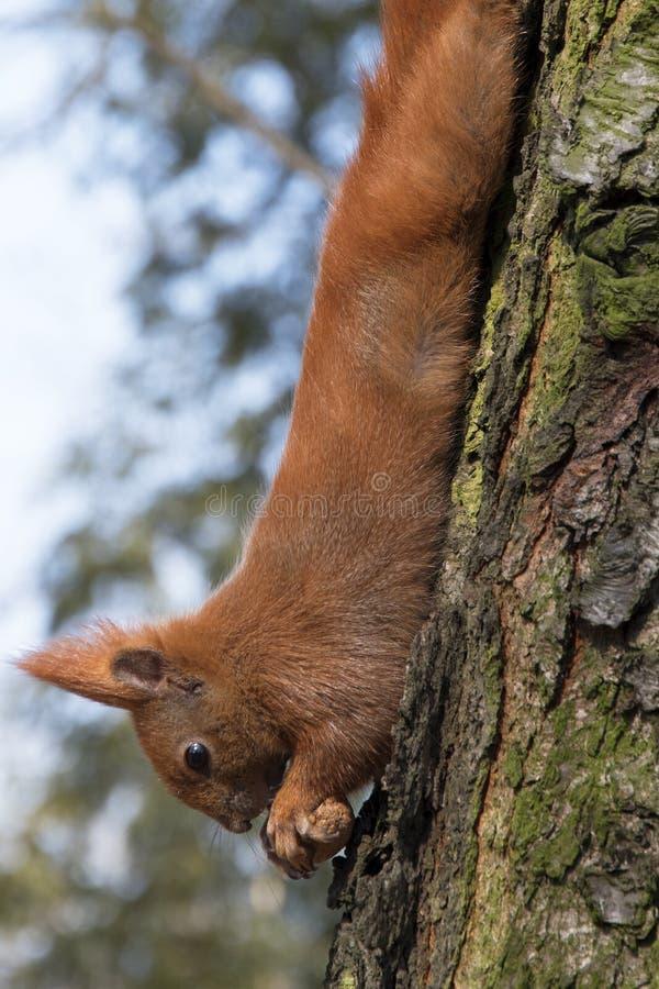 Esquilo em uma árvore que guarda uma porca Uma foto bonita fotos de stock