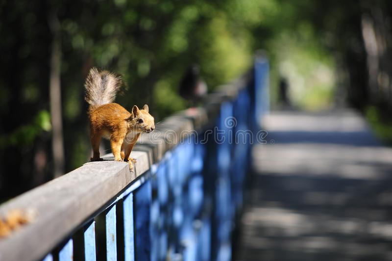 Esquilo em uma caminhada fotos de stock